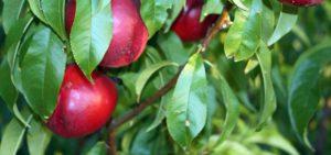 Abella nectarinas de calidad